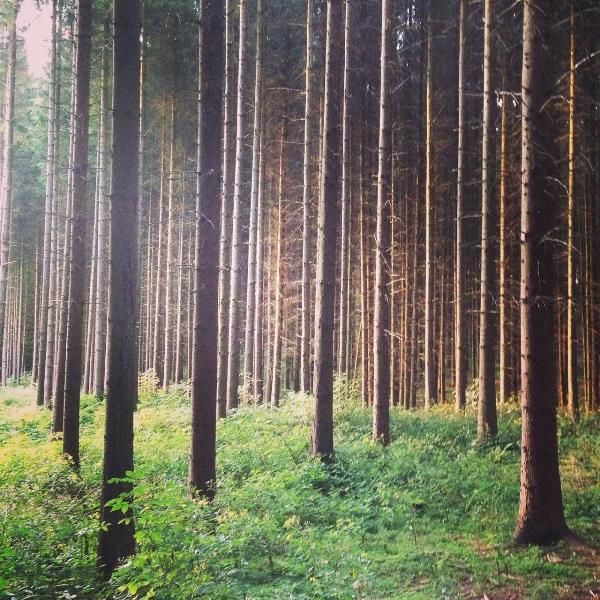 Der Blick in den Wald verrät: Kerzengerader Wuchs dieser Bäume hier zeugt von der gewaltigen Energie des Untergrundes ...